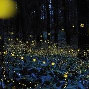 lucciole-milano